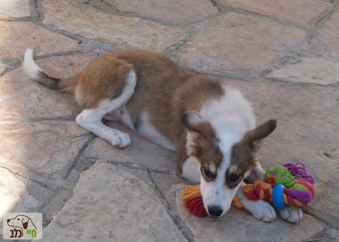 כלב עם חבל משיכה