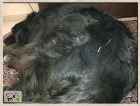 דיקור לפי הרפואה הסינית לכלב