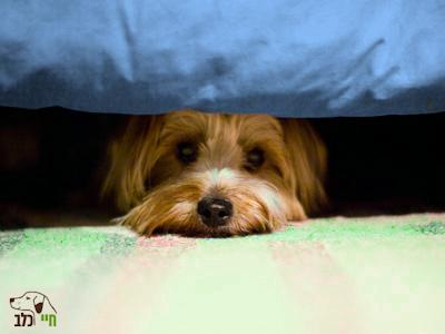 כלב מפוחד מתחבא מתחת למיטה