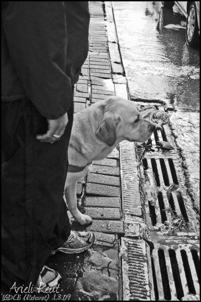 כלב נחייה לפני מדרכה