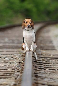 כלב על מסילת רכבת