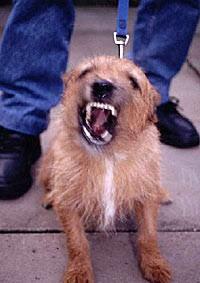 כלב חושף שיניים