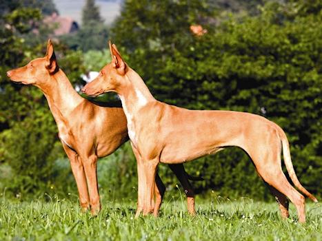 כלב פרעוני