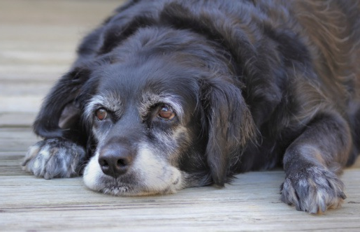 כלב זקן