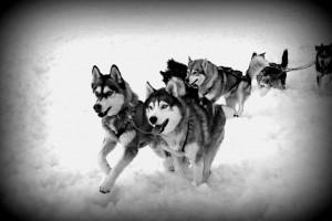 כלבי שפיץ צפוני